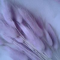 Сухоцвет лагурус