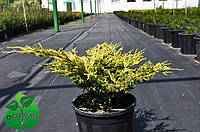 "Можжевельник средний ""Голд Коуст"" - Juniperus media ""Gold Coast"""