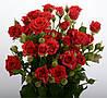 Саженцы Роза Спрей Red Tornado (Red Micado)
