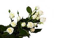 Саженцы Роза Спрей Red White Lady