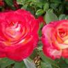 Роза чайно-гибридная Липстик