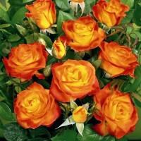 Саженцы Роза Color Beauty