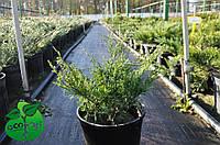 "Можжевельник казацкий ""Блю Данубе"" - Juniperus sabina ""Blue Dаnube"""