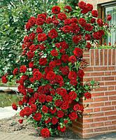 Саженцы Роза Red Beauty