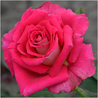 Роза чайно-гибридная Шейла, фото 1