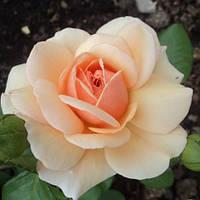 Роза чайно-гибридная Эмми, фото 1