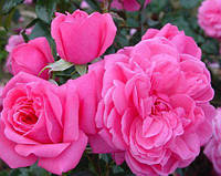 Роза Флорибунда Берле Бург, фото 1