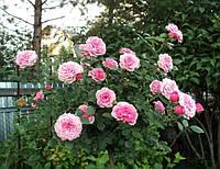 Саженцы Роза Starlet®-Rose Eva