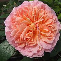 Саженцы Роза Дерби