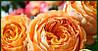 Саженцы Роза Orange English