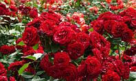 Саженцы Роза Red English