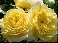 Саженцы Роза Solero