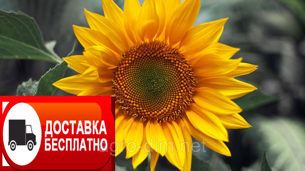 Насіння соняшника  Драган