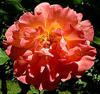 Роза плетистая Ариэль