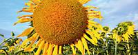 Семена подсолнечника ЕС Савана, Euralis Semences