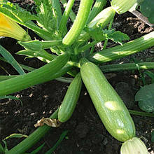 Семена кабачка Ангелина F1 (500 сем.) Syngenta