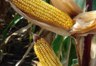 Семена кукурузы ДКС 4408, Monsanto