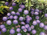 Скабиоза японская / Scabiosa japonica