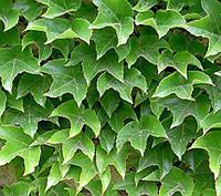 Виноград триостренный Вичи, С1, привитой / Parthenocissus tricuspidata Veitchii