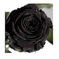 Долгосвежая роза - бутон Черный Бриллиант