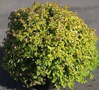 Спирея японская Сандроп / Spiraea japonica Sundrop