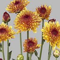 Хризантема Лолипоп Yellow черенок