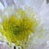 Хризантема Зембла White черенок