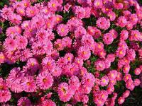Астра Новобельгийская Magic Pink