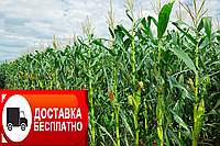 Семена кукурузы Богатир