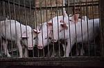 Откорм молодняка свиней