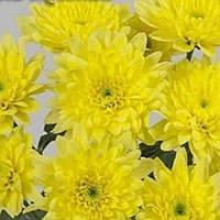 Хризантема Зембла Yellow черенок