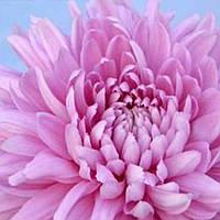Хризантема Резоме Pink черенок