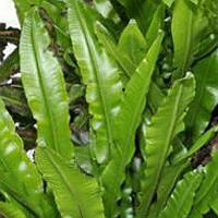 Папоротник листовой вечнозеленый саженец