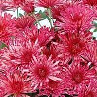 Хризантема Супер Той Pink-Red черенок