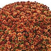 Хризантема Бореаль Orange черенок