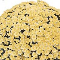 Хризантема Оваро Lemon черенок