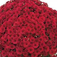 Хризантема Барселона Джогер Dark-Red черенок