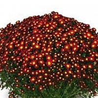Хризантема Дора Red черенок