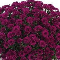 Хризантема Магенцо Violet черенок