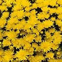 Хризантема Изольда Yellow черенок