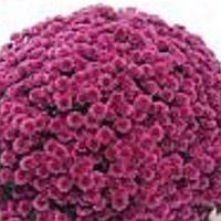 Хризантема Си Серфер Pink черенок