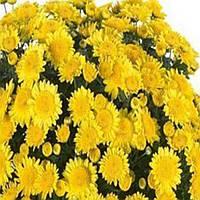 Хризантема Флорина Yellow черенок