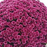 Хризантема Флоринт Pink черенок
