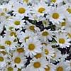 Хризантема Папиро White черенок