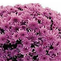 Хризантема Парме Violet черенок