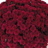 Хризантема Иза Red черенок
