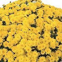 Хризантема Падре Yellow черенок