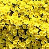 Хризантема Попкорн Yellow черенок