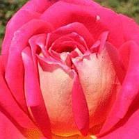 Роза чайно-гибридная Крымский Рубин саженец