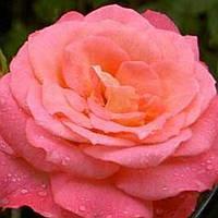 Роза плетистая Шогун саженец